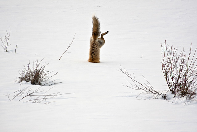 Red-Fox-catching-mouse-under-snow-640