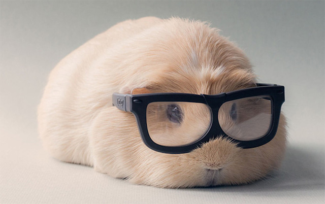 Booboo The Cute Guinea Pig2