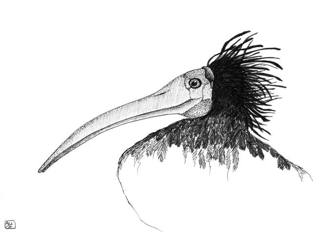 geronticus-eremita-15x21-cm-2012-collezione-privata